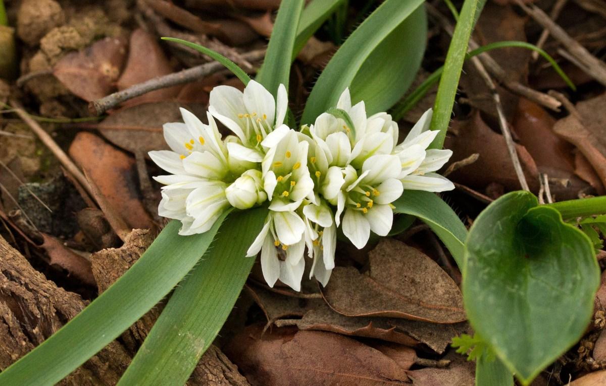 <i>Allium chamaemoly</i>