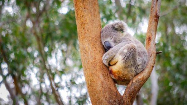 uyku-koalalar