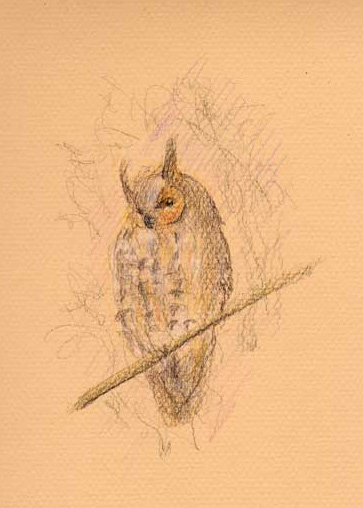 Long-eared owl (colored pencil drawing)