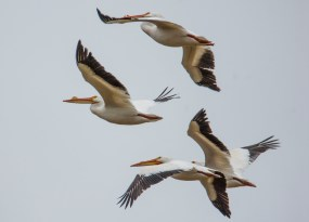 May - the white pelicans have returned.