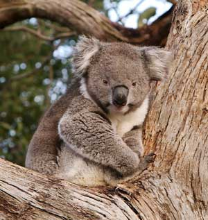 Interviews with koalas