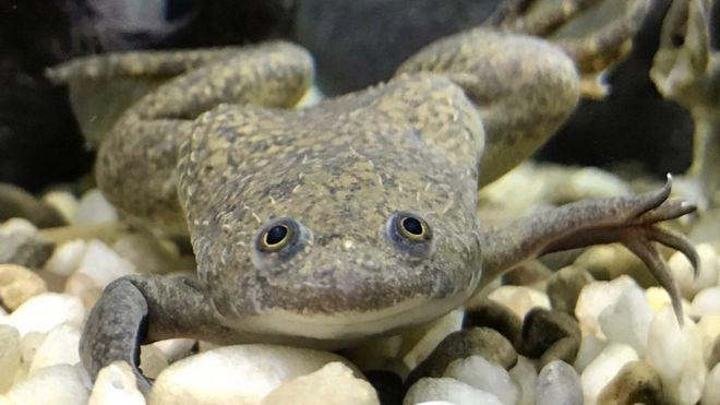 Qué es el test de la rana y cómo se utilizó durante décadas para detectar embarazos
