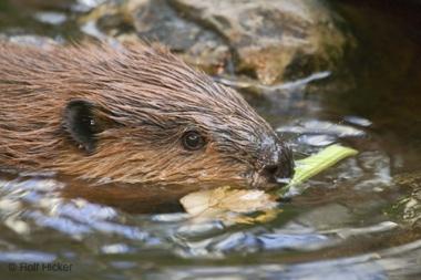 Beaver-T0269