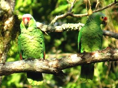 Redloredparrots