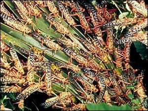 Cklocusts Feeding