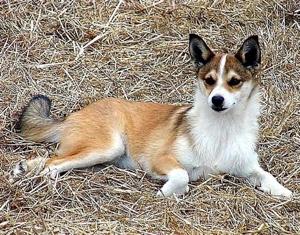 Lundhund-1