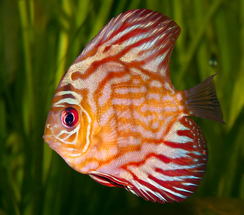 10 incredibly beautiful fishes listverse for California freshwater fish