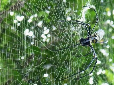 Spider In Web.Jpg
