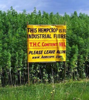 Hemp-Crop-Photo.Jpg