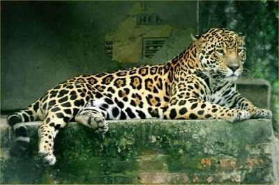 Jaguar-42