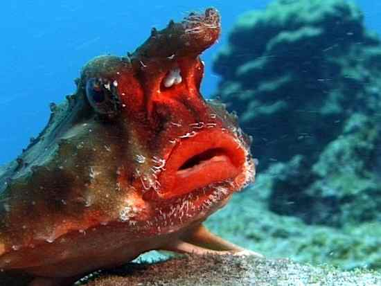 Rosa Lip Batfish I