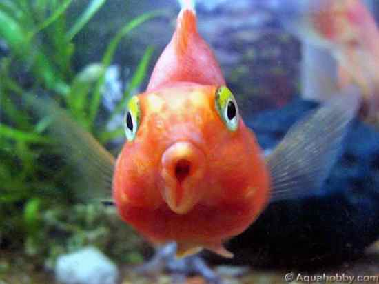 Top 10 hybrid animals listverse for Parrot fish freshwater