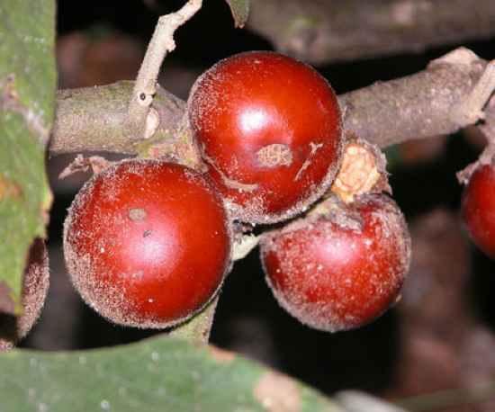 Solanum Sessiliflorum2