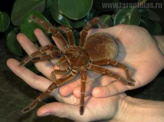 Giant spider eating bird - photo#38