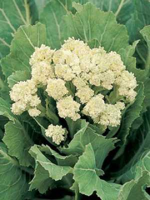 Broccoli White