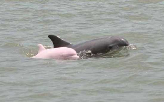 Pink-Dolphin1