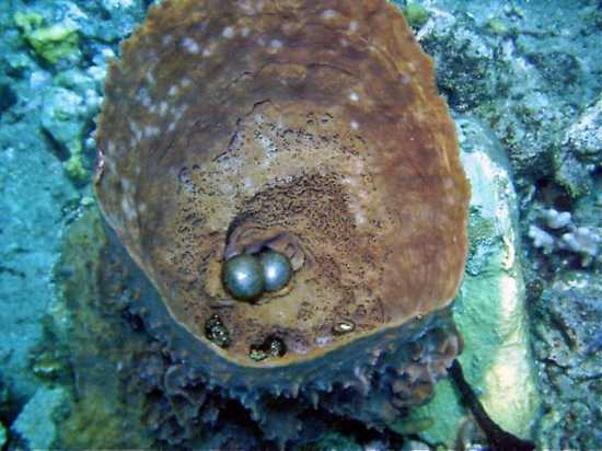 Sponge-Eggs-Roseau-Dominique-Divers