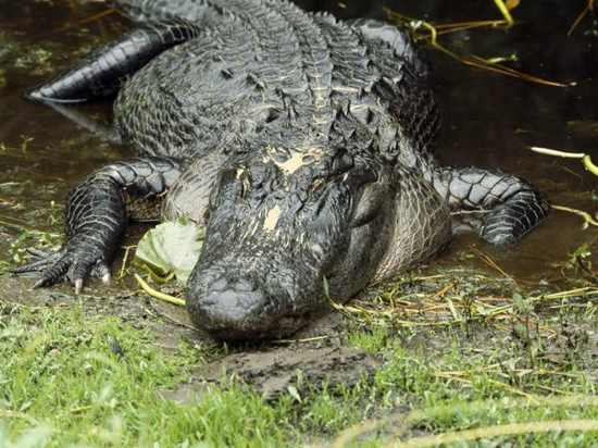 American-Alligator 444 600X450