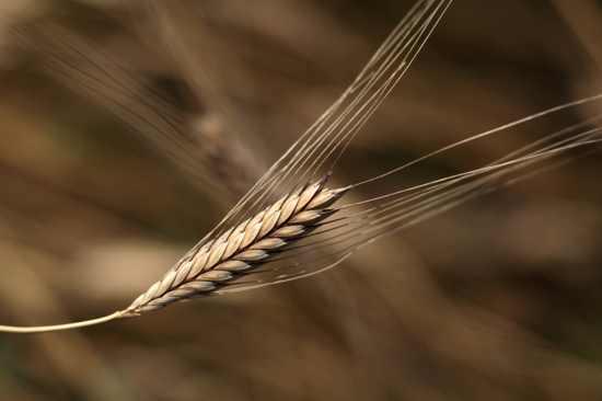 Einkorn-Wheat