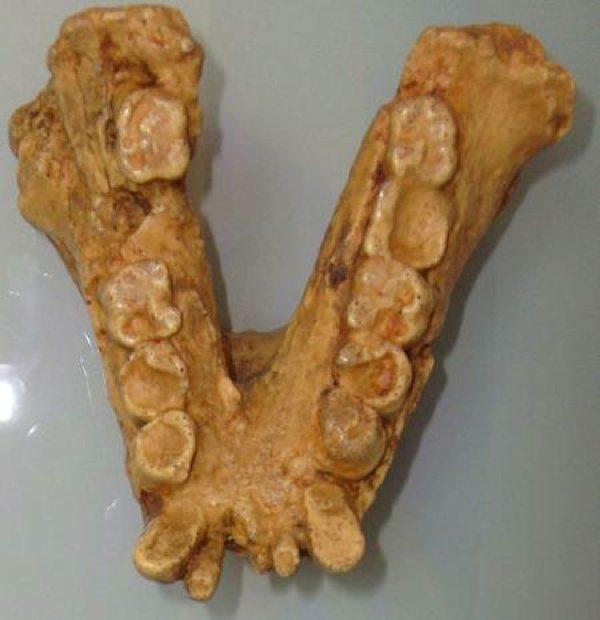 Gigantopithecus-450-465-21