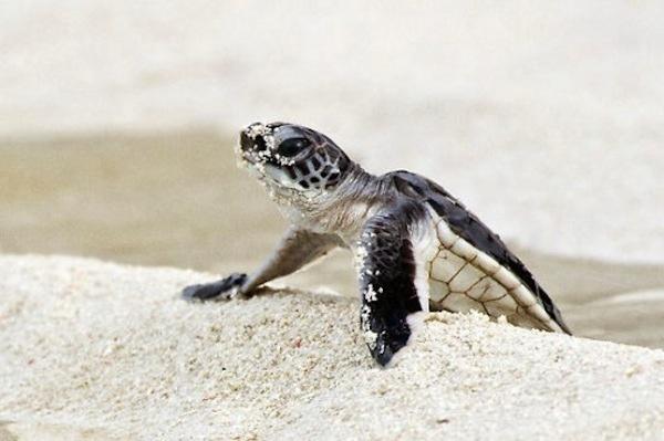Baby-Green-Sea-Turtles