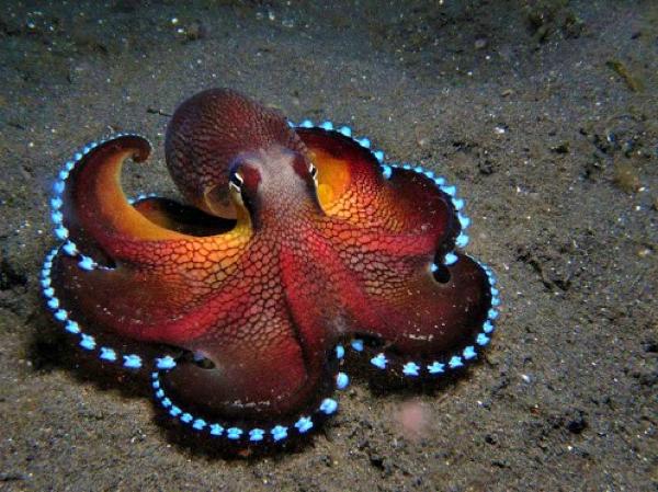 1. Coconut-Octopus-Glowing-Veined-Octopus-Amphioctopus-Marginatus Ts