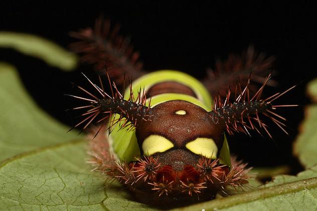 Stinging Caterpillar 2