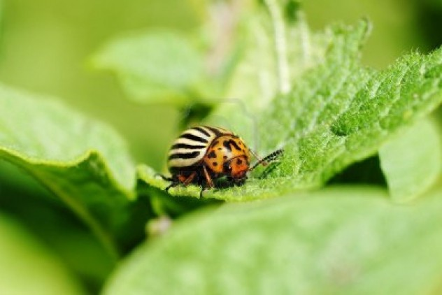 14211839-cute-but-damaging-colorado-potato-beetle-feeding-on-the-plant-s-leaves-an-agricultural-pest