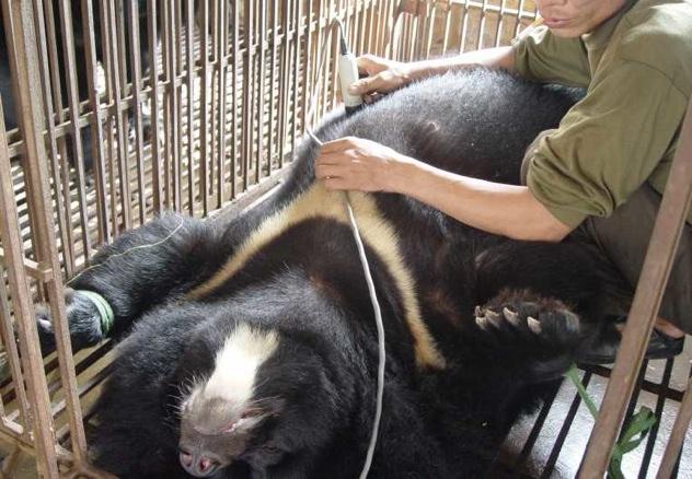 Welcome-Crackdown-Illegal-Bear-Trade-Bear-Bile 223