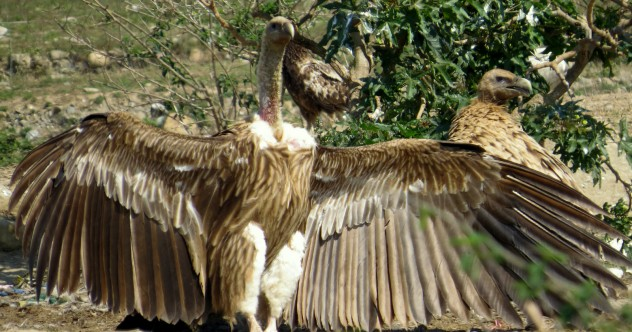 Indian-Vulture