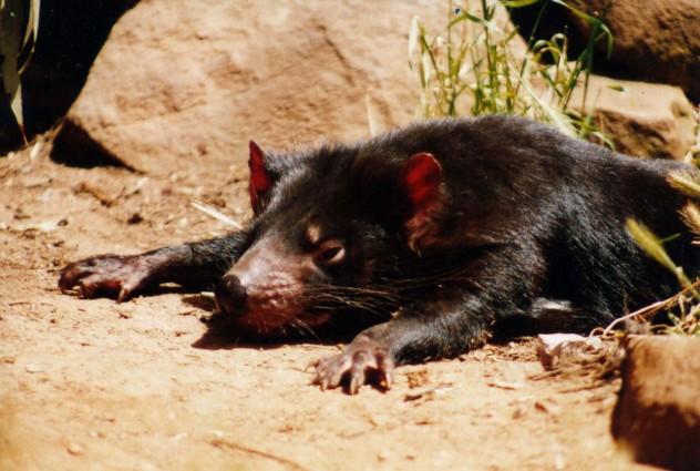 Tasmanian Devil Pictures (Dan Fellow)
