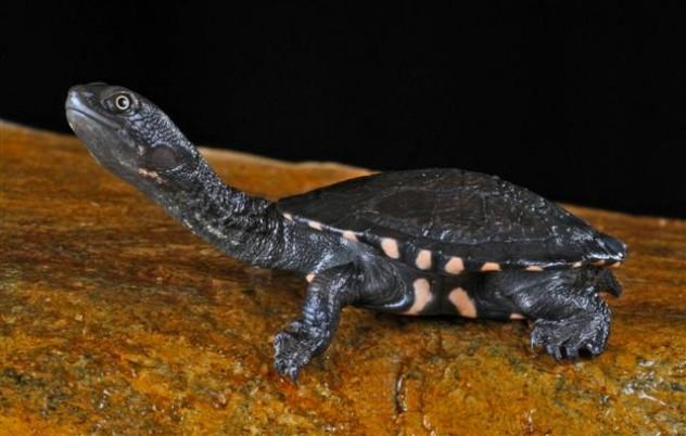 eastern_long_neck_turtle