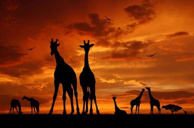 Giraffe dance (1)