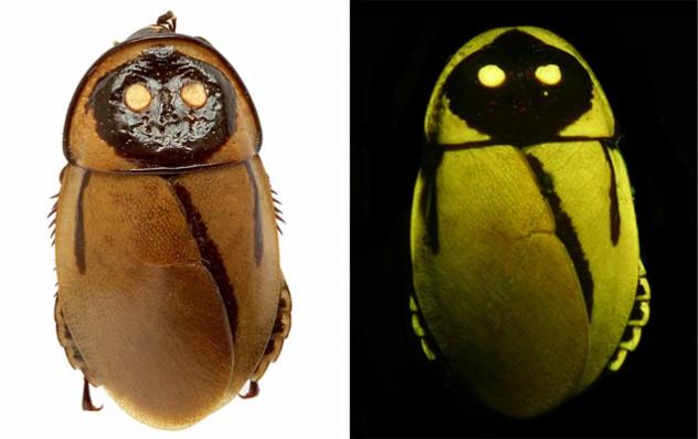 Glowing-roaches