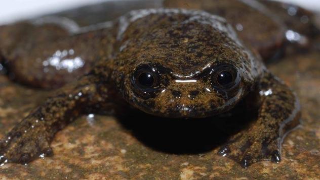 flatheafrog