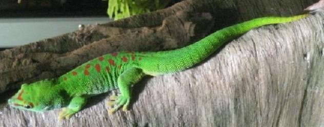 giantgecko