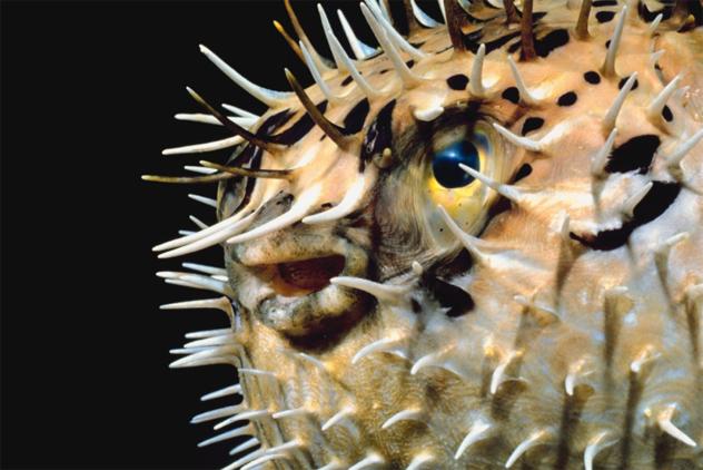 9- pufferfish