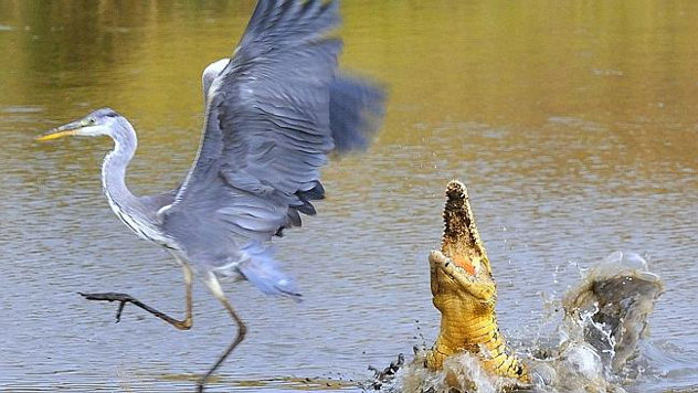 The Nile Crocodile made this a risky place for a Grey Heron to fish!