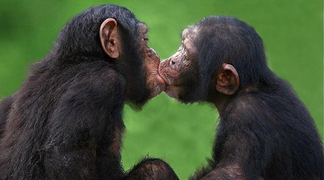 kissing-chimps
