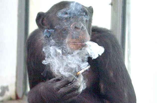 10 cuddly apes who committed vicious