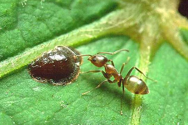 7- ant
