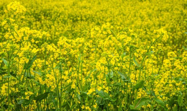 2-mustard-480443426