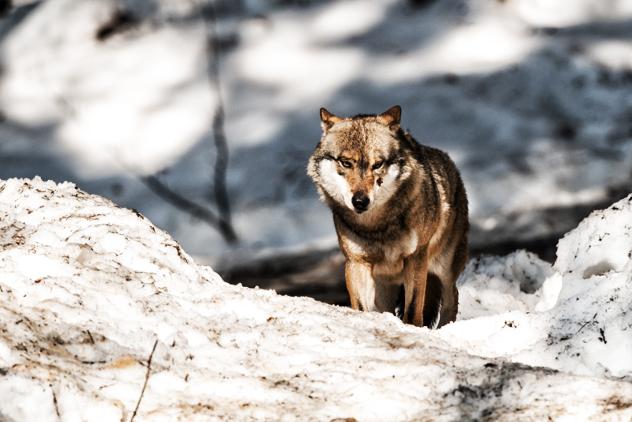 4- Bisclavret werewolf