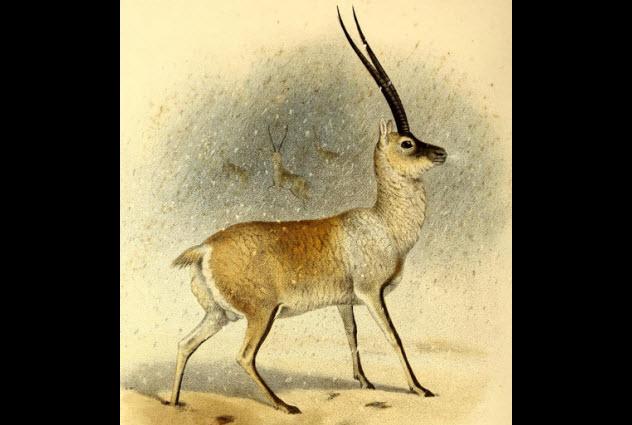 6a-tibetan-antelope