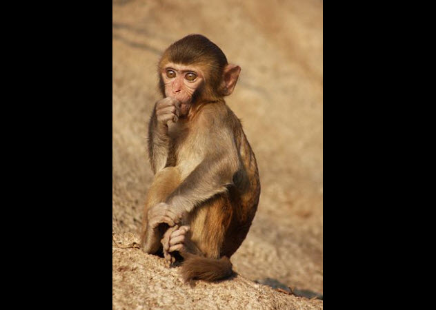 4-rhesus-monkey