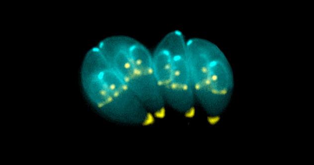 1-Toxoplasma-gondii