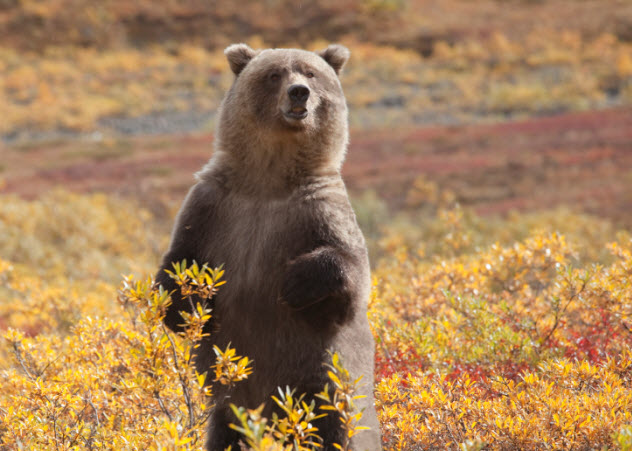 10-grizzly-autumn_000017839911_Small