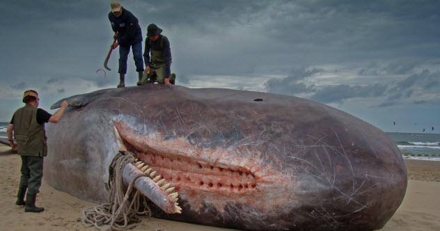 4-sperm-whale-teeth