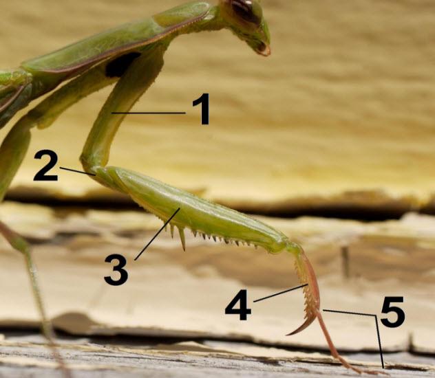 8-praying-mantis-claws