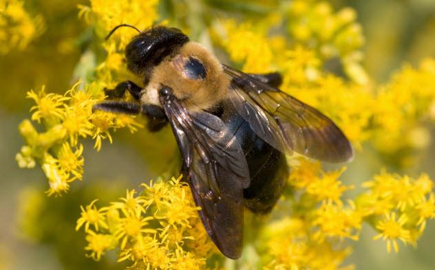 2-carpenter-bee_2163309_SMALL
